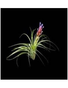 Tillandsia stricta soft