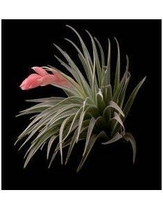 Tillandsia Recurvifolia Kork