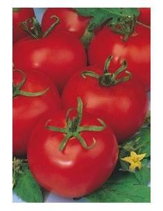 Tomato Tres Cantos
