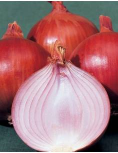 Red onion seeds Amposta Sel. Br