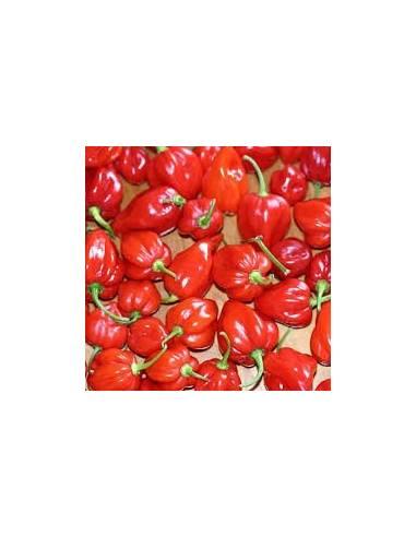 Semillas Pimiento habanero red caribean (extra picante)