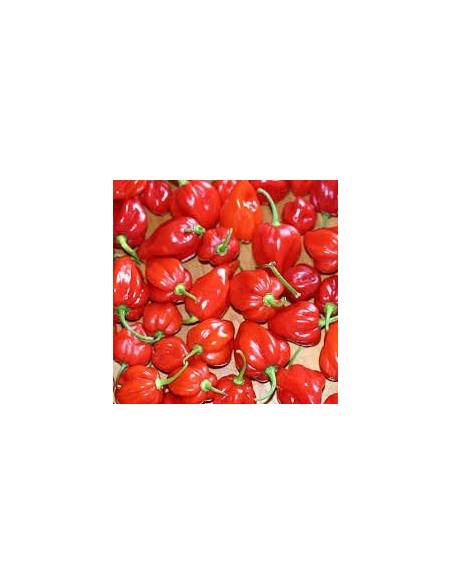 Habanero pepper seeds caribean red (extra spicy)