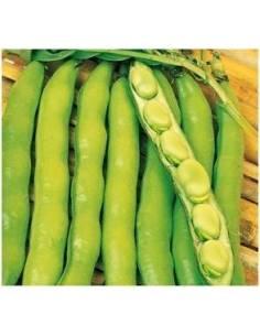 Muchamiel beans seeds