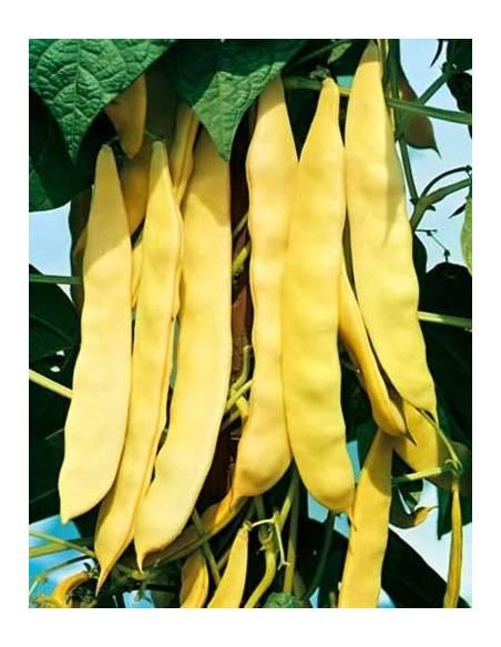 Seeds yellow dwarf Bean Capitan