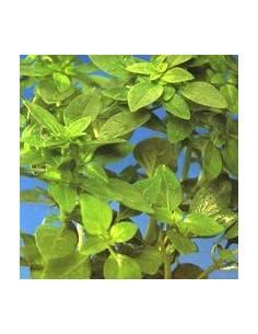 Orégano origanum vulgare