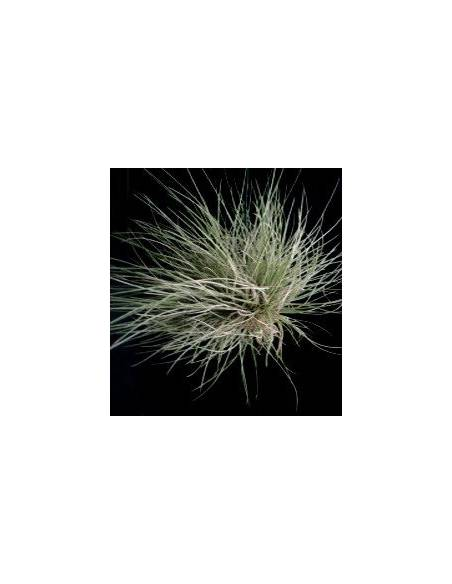 Tillandsia Bartrami Clump
