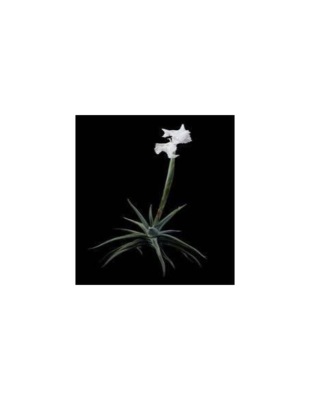 Tillandsia Xiphioides 2