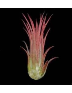 Tillandsia ionantha rosea