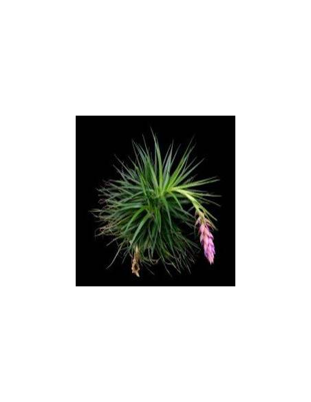 Tillandsia Stricta 2