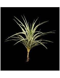 tillandsia stricta albiflora