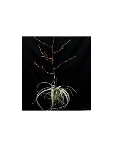 tillandsia flexuosa