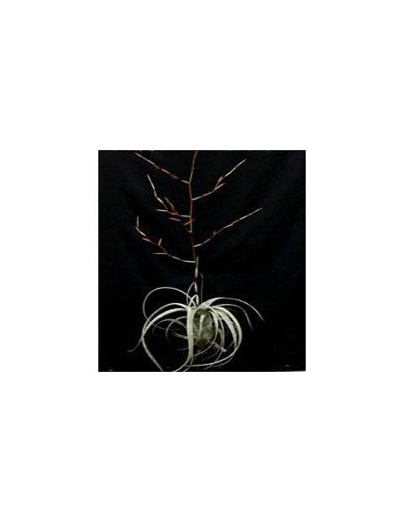 Tillandsia Flexuosa 2