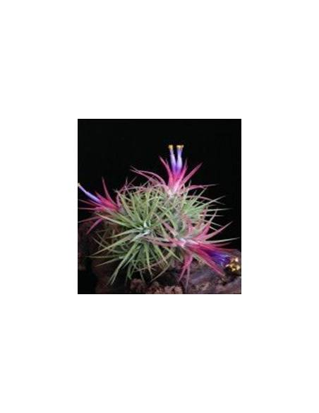 TILLANDSIA IONANTHA MEXICO WIREBALL