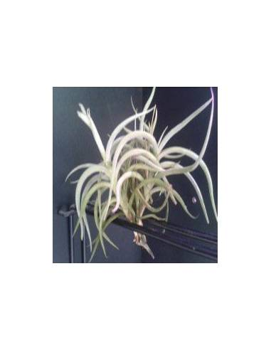 Tillandsia Myosura Clump