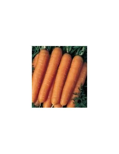 Zanahoria nantesa