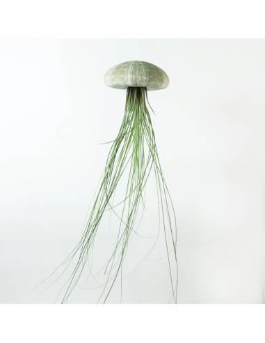 Erizo grande Juncifolia