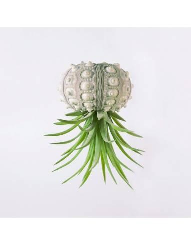 Erizo blanco Brachycaulos Multiflora