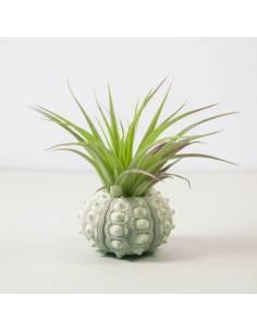 White Sea Urchin Brachycaulos Abdida