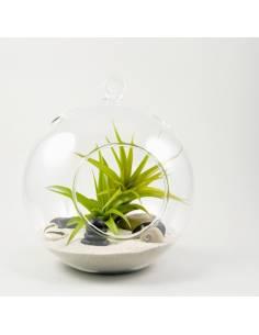 Terrario bubble grande dos Brachycaulos Multiflora