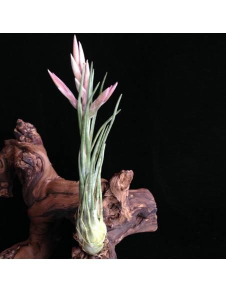Arizae-juliae Tillandsia Ecoterrazas