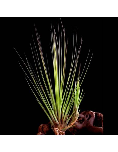 Tillandsia Juncifolia 2