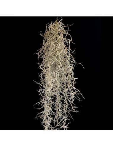 Tillandsia usneoides grob silber