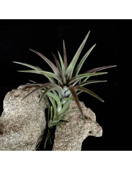 tillandsia neglecta rubra