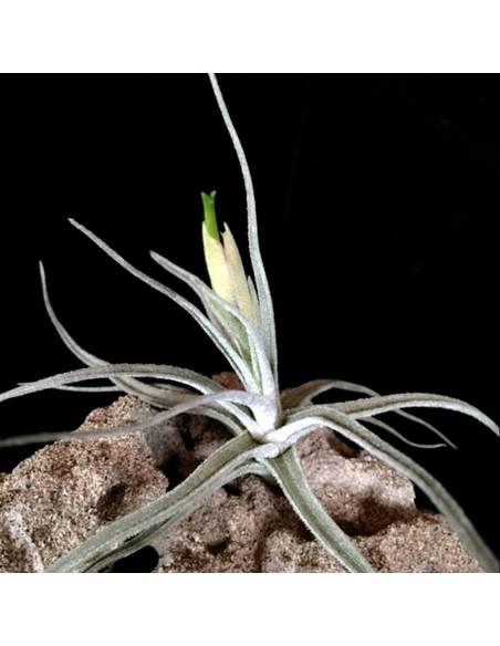 Tillandsia Lepidosepala 2