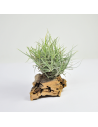 Tillandsia Capillaris Tipo 1 Clump