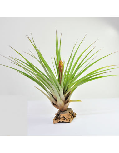 Fasciculata Tillandsia Ecoterrazas