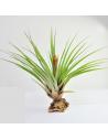 Tillandsia Fasciculata Ecoterrazas