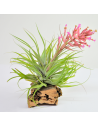 Geminiflora Tillandsia Ecoterrazas