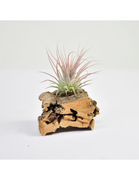 Ionantha rosea Tillandsia Ecoterrazas