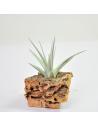 Tillandsia ixioides Ecoterrazas