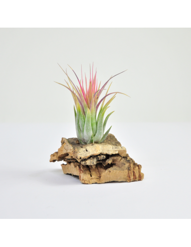 Kolbi ionantha scaposa Tillandsia Ecoterrazas