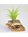 Tillandsia Neglecta Ecoterrazas