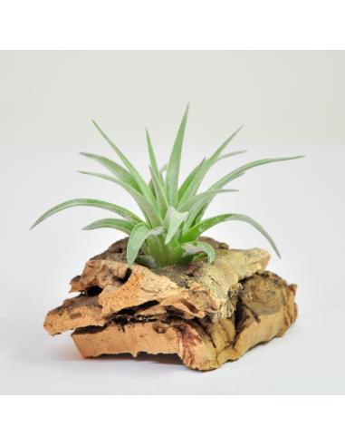 Plagiotropica Tillandsia Ecoterrazas