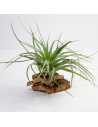 Tillandsia Stricta Hard
