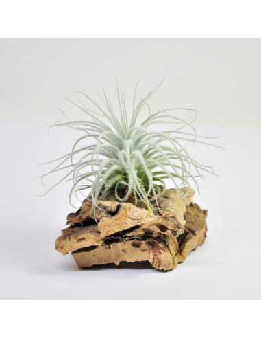 Tillandsia Tectorum Ecoterrazas
