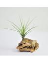 Tenuifolia Tillandsia Ecoterrazas