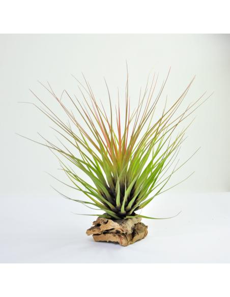 Tillandsia Tricolor Ecoterrazas