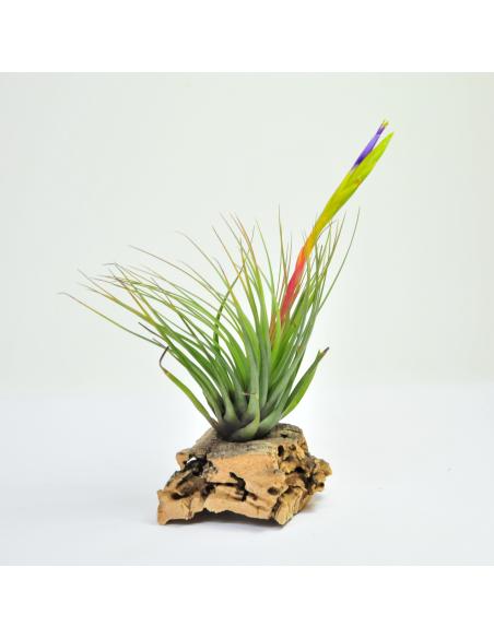 Tricolor Tillandsia Ecoterrazas