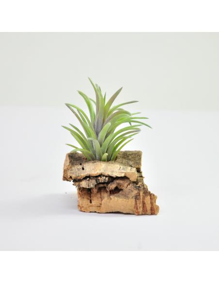 Tillandsia Neglecta Rubra Ecoterrazas