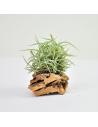 Tillandsia Retorta Clump Ecoterrazas