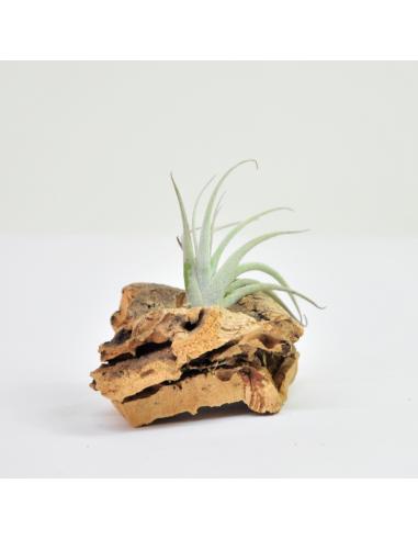 Zecheri cafayatensis Tillandsia Ecoterrazas