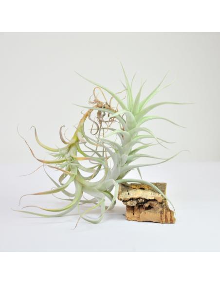 Albida Tillandsia Ecoterrazas
