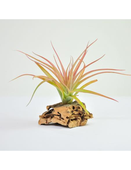 Brachycaulos multiflora Tillandsia Ecoterrazas