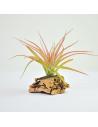 Tillandsia Brachycaulos Multiflora