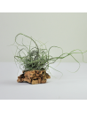 Tillandsia Butzii Clump