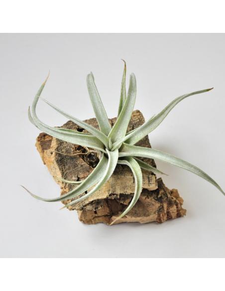 Tillandsia Fresnelloides 2
